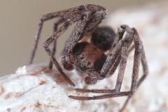 Philodromus Pulchellodromus sp. macho