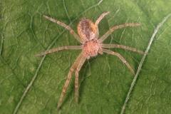 Philodromus sp. hembra