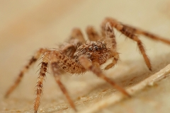Philodromus sp. juvenil