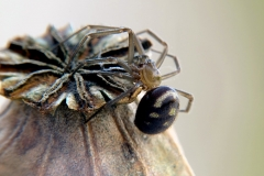 Steatoda grossa macho