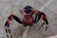 Synema globosum macho