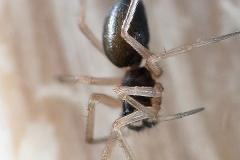 Zodarion sp. hembra