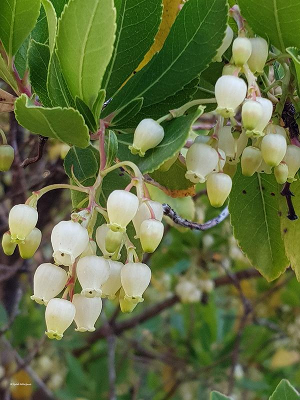 Arbutus unedo (Madroño) fruto