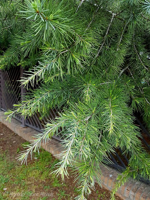 Cedrus deodora (Cedro del Himalaya) hoja