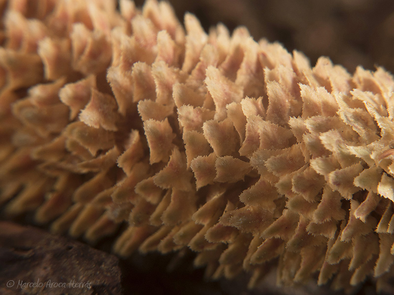 Cedrus libani (Cedro del Libano) cono florifero masculino