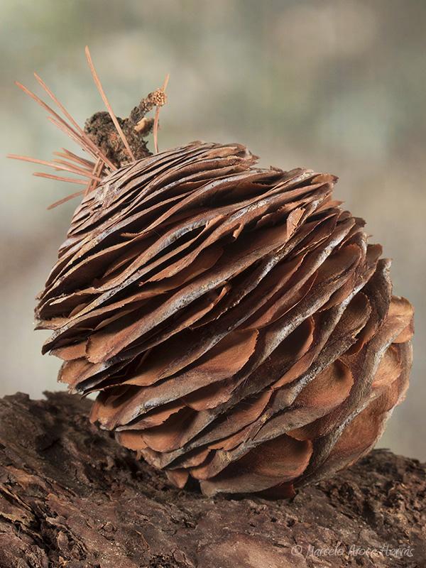 Cedrus libani (Cedro del Libano) piña