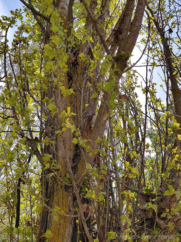 Populus nigra (Chopo negro) corteza