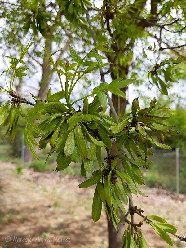 Fraxinus excelsior (Fresno) fruto