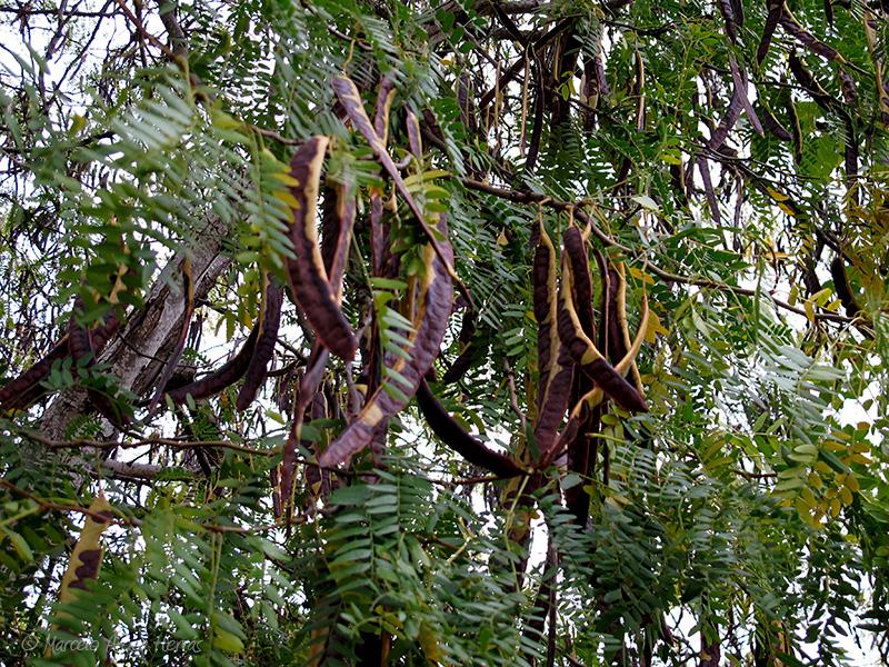 Gleditsia triacanthos (Acacia de tres espinas)
