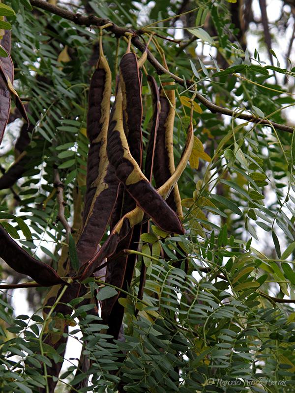 Gleditsia triacanthos (Acacia de tres espinas) fruto