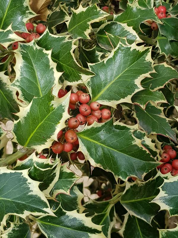 Ilex aquifolium (Acebo)