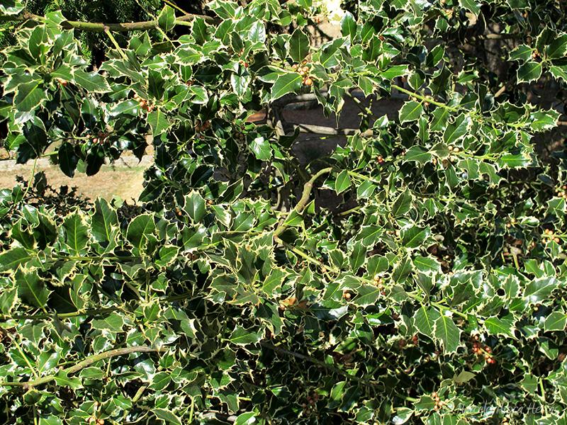 Ilex aquifolium var. Silver Queen (Acebo común)
