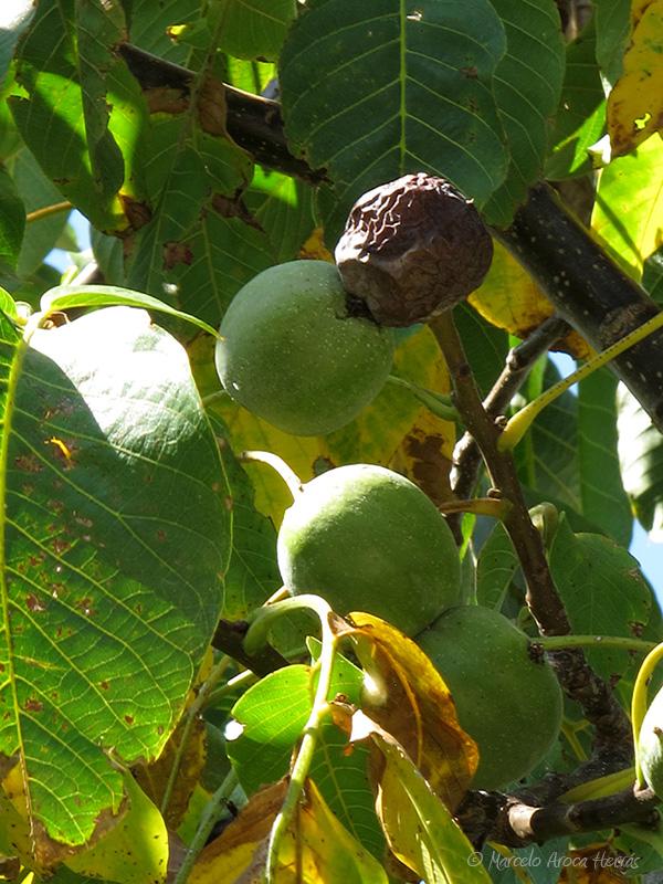 Juglans regia (Noga) fruto