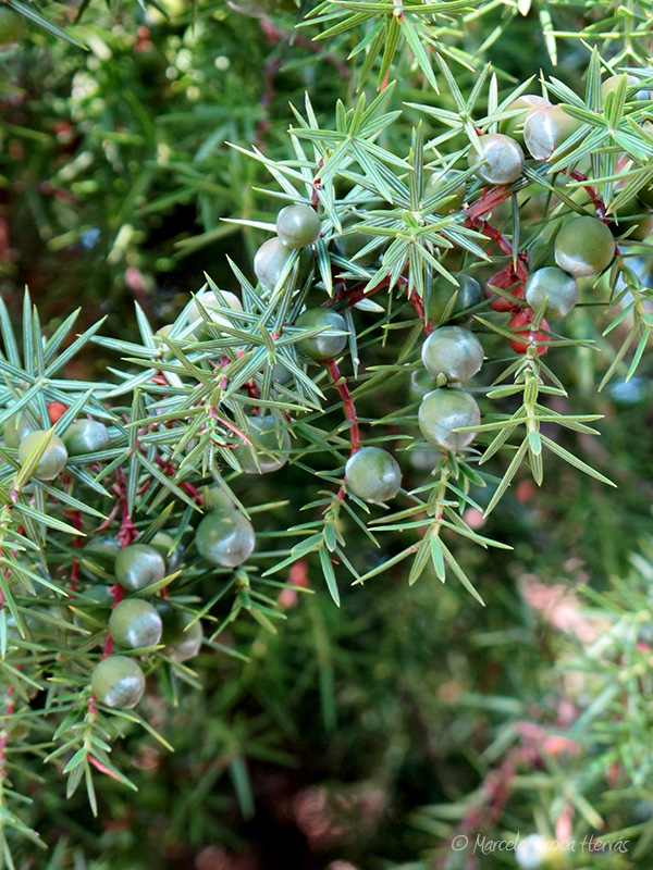 Juniperus communis (Enebro común) fruto