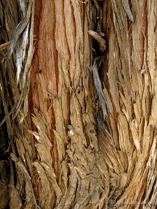 Juniperus communis (Enebro común) corteza