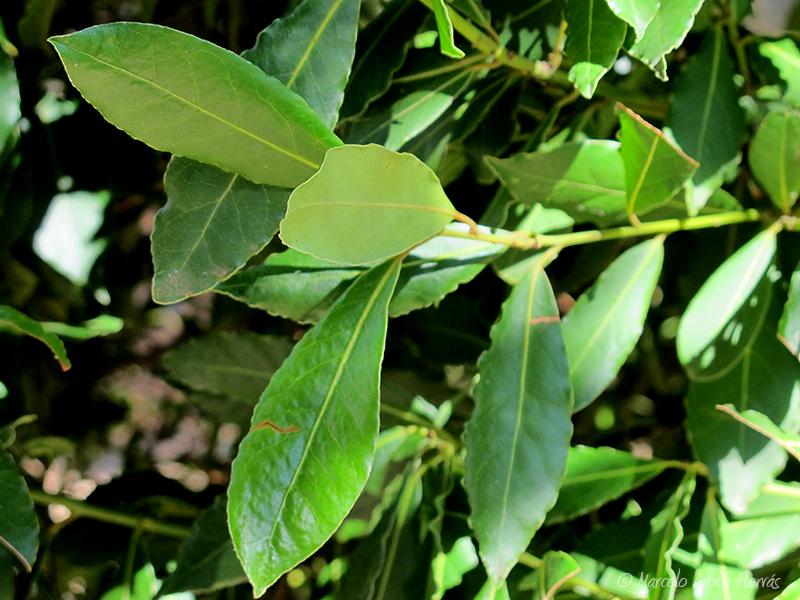 Laurus nobilis (Laurel) hoja
