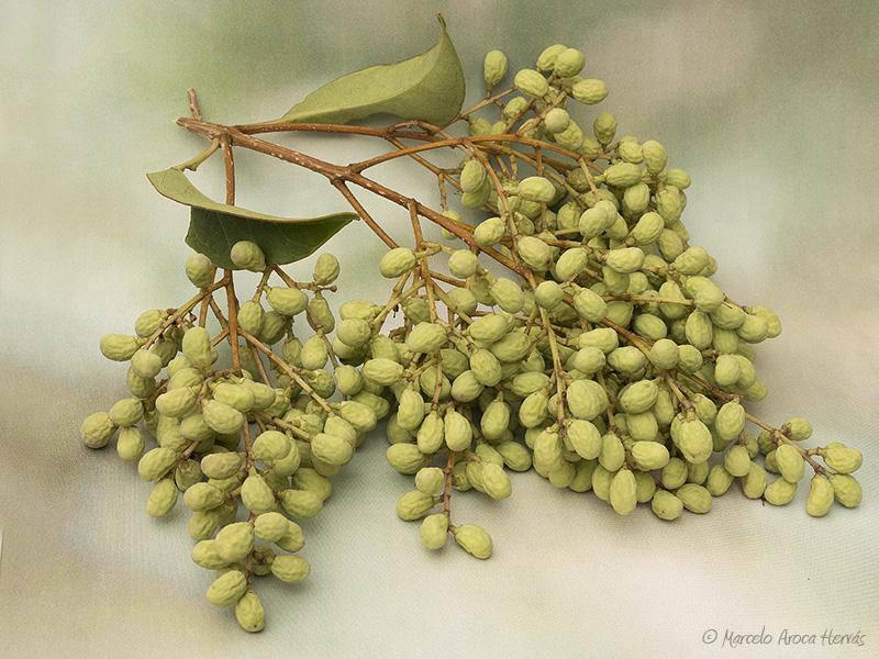 Ligustrum lucidum (Aligustre) fruto