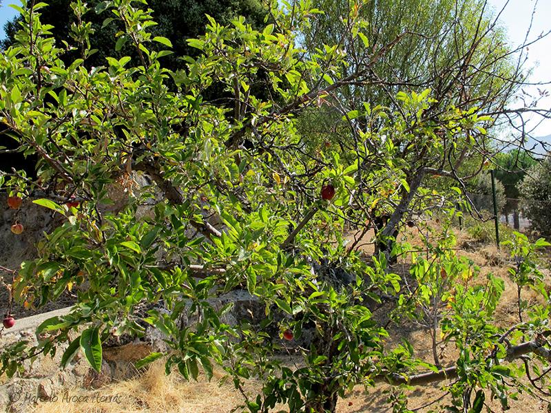 Malus domestica (Manzano)