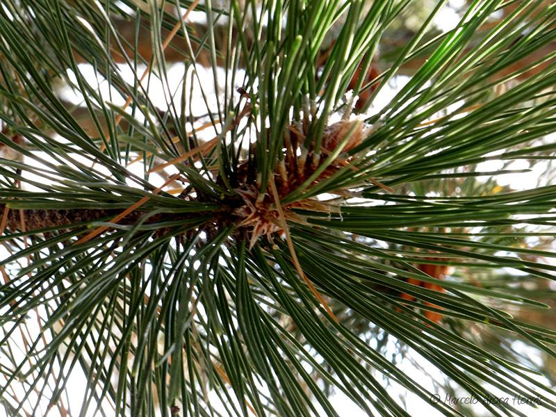 Pinus nigra (Pino negral) hoja