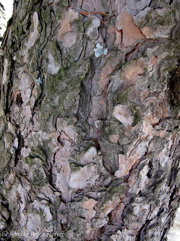 Pinus pinea (Pino piñonero) corteza
