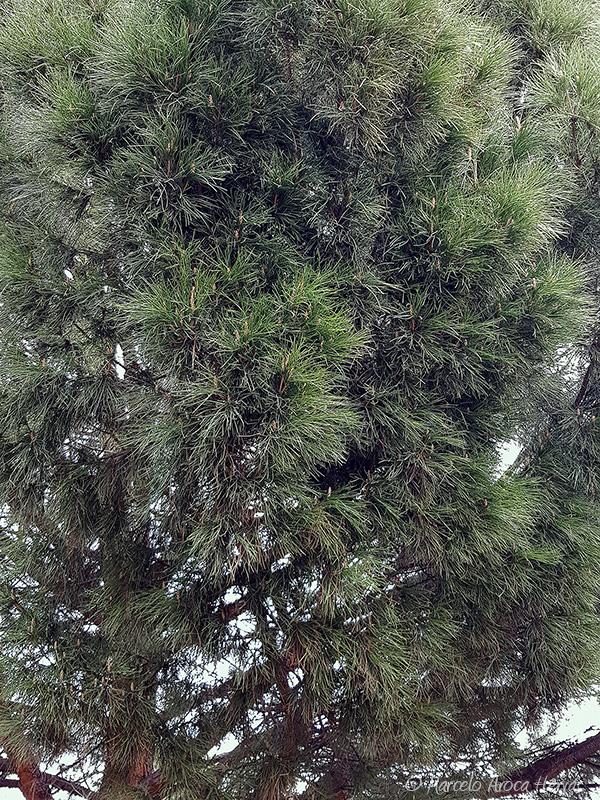 Pinus pinea (Pino piñonero) hoja