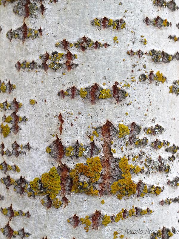 Populus alba (Alamo blanco) corteza