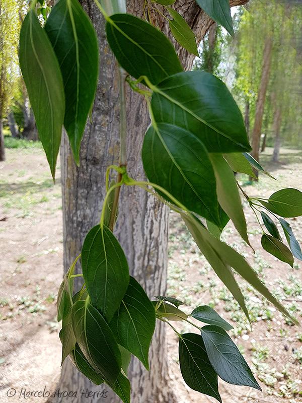 Populus alba (Alamo blanco) hoja