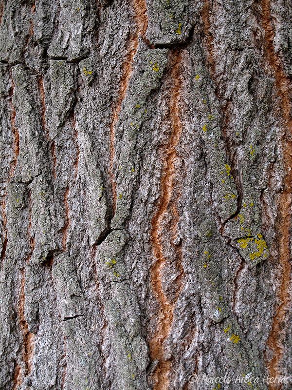 Populus nigra (Alamo negro) corteza