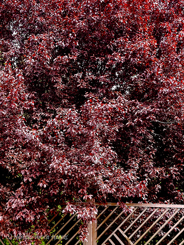 Prunus cerasifera (Ciruelo de jardín) hoja