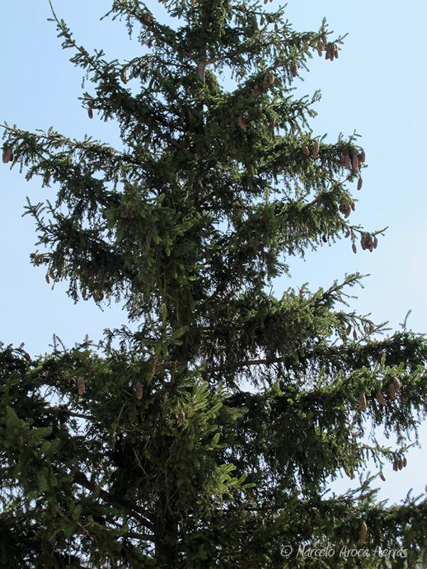 Pseudotsuga macrocarpa (Abeto de Douglas)