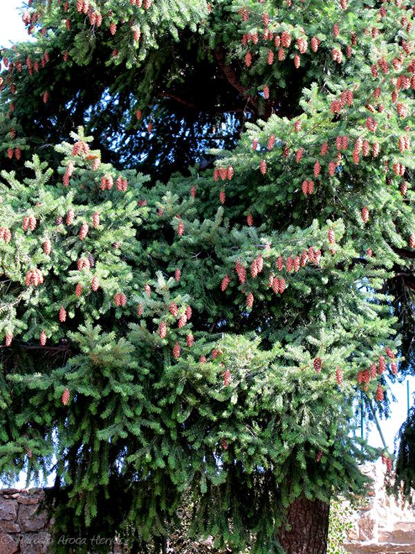 Pseudotsuga macrocarpa (Abeto de Douglas) hoja