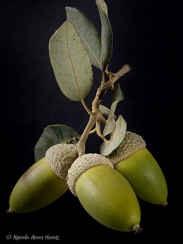 Quercus ilex (Encina)