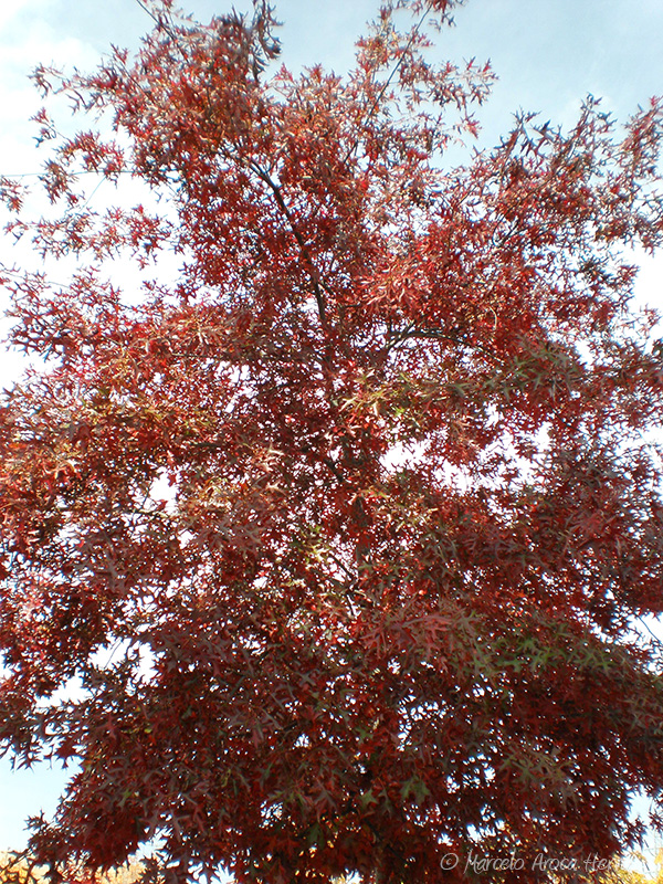 Quercus palustris (Roble de los pantanos)