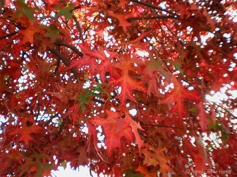 Quercus palustris (Roble de los pantanos) hoja