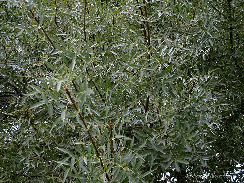 Salix babylonica (Sauce llorón)