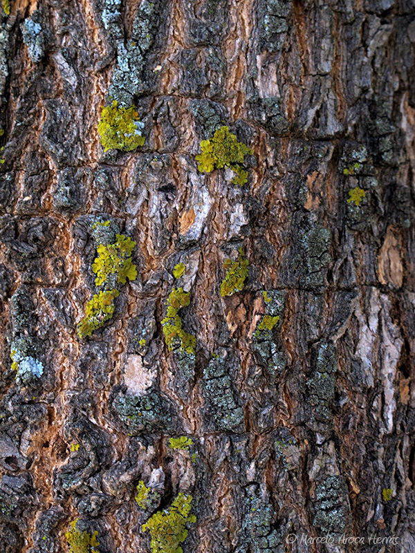 Salix babylonica (Sauce llorón) corteza