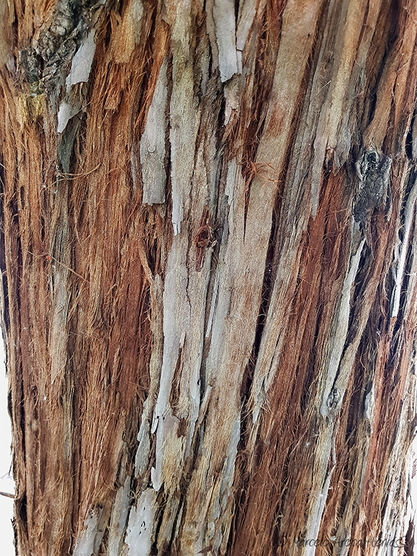 Taxodium distichum (Ciprés de los pantanos) corteza