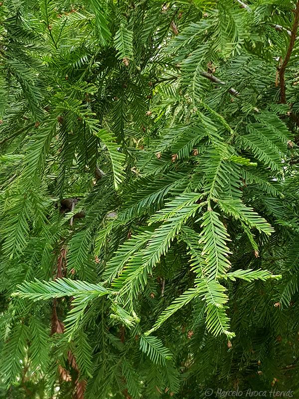 Taxodium distichum (Ciprés de los pantanos) hoja
