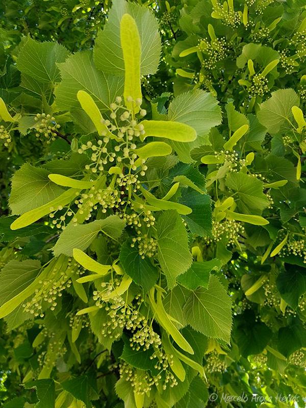 Tilia platyphyllos (Tilo de hoja ancha) fruto