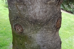 Abies alba (Abeto blanco) corteza