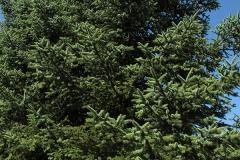 Abies pinsapo (Pinsapo)