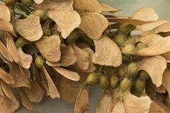 Acer pseudoplatanus (Arce blanco)