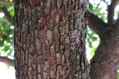 Arbutus unedo (Madroño)