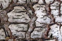 Betula pendula (Abedul comun)