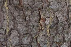 Cedrus atlantica (Cedro del Atlas)