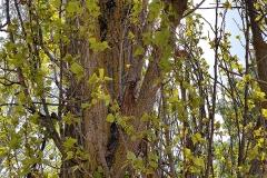 Chopo negro (Populus nigra) corteza
