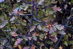 Crataegus monogyna (Espino albar)