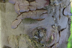 Cupressus arizonica (Cipres de Arizona)