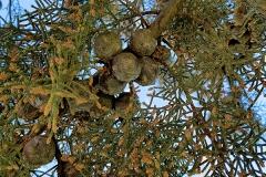 Cupressus macrocarpa (Ciprés de Monterrey)