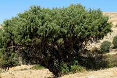 Juniperus communis (Enebro común)